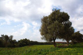 Olive tree in field in Algeria — Stock Photo