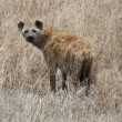 Stock Photo: Hyenin savannah