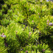 Background of young new pine needles — Stock Photo