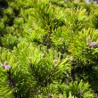 Background of young new pine needles - Stock Photo