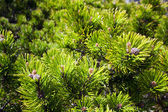 Background of young new pine needles — 图库照片