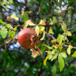 Ripe rose hip — Foto Stock
