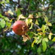 Stock Photo: Ripe rose hip