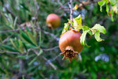 Ripe rose hip — Stock Photo
