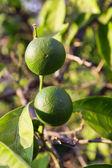 Zielona mandarynka — Zdjęcie stockowe