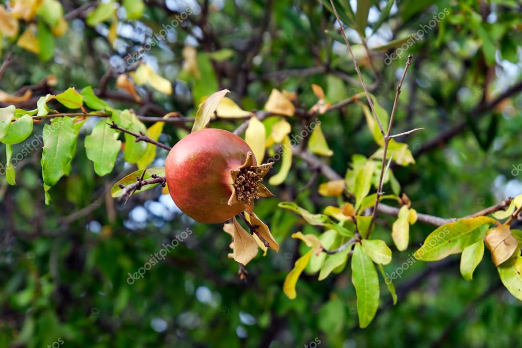 Ripe rose hip on tree — Stock Photo #14834117