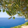 Olive tree on sebackground — Stock Photo #14868573