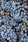 Close-up of wine grapes — Stock Photo