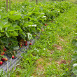 Stock Photo: Strawberry garden