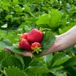 葉の上の strawberrys — ストック写真