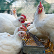 White hens — Stock Photo