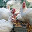 Stock Photo: White hens