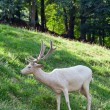 White deer — Stock Photo