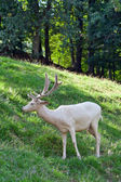 White deer — Stock Photo