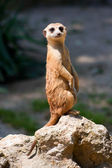 A watchful standing meerkat — Stock Photo