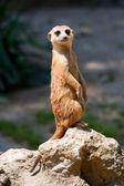 A watchful standing meerkat — Stock Photo