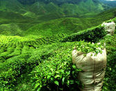 Green tea plantation — Stock Photo