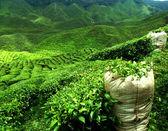 Green tea plantation — Stock Photo