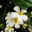 White plumeria fllower — Stock Photo