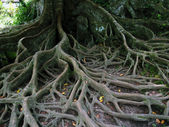 Tree roots — Stockfoto