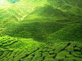 Green tea plnatation — Stock Photo
