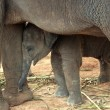 Stock Photo: Elephant baby
