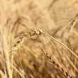 Wheat ears growing on field closeup — Stock Photo