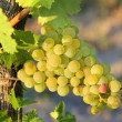 Grapes in vineyards — Stock Photo