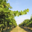 Foto de Stock  : Vineyard