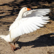 Domestic goose — Stockfoto