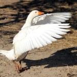 Domestic goose — Stock Photo #33651129
