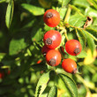 Rosehip — Stock Photo #33651185
