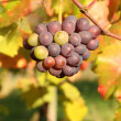 Autumn season in vineyard — Stockfoto
