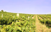 Vineyard landscape — Stockfoto