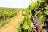 Ripe grapes in vineyard — Stock Photo
