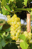 White grapes growing closeup — Stock Photo