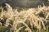 Beautiful meadow sunset closeup — Stock Photo