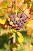 Autumn season in vineyard — Stock Photo