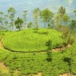 Tea plantation hill — Stock Photo #38208659