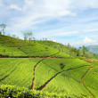 Tea plantation landscape — Stock Photo