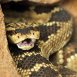 Rattlesnake — Stock Photo #40874319