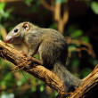 Stock Photo: Tree shrew