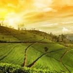 Tea plantation landscape — Stock Photo #41147107