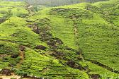 Tea plantation countryside — Stock Photo
