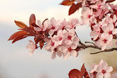 Spring cherry branch blooming — Stock Photo
