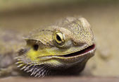 Lizard with spikes — Stock Photo