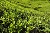 Tea leaves growing on tea plantation — Stock Photo