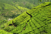 Green tea hills — Stock Photo