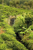 Tea plantation with creek — Stock Photo