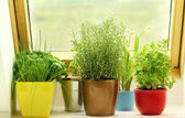 Herbs growing on window — Stock Photo